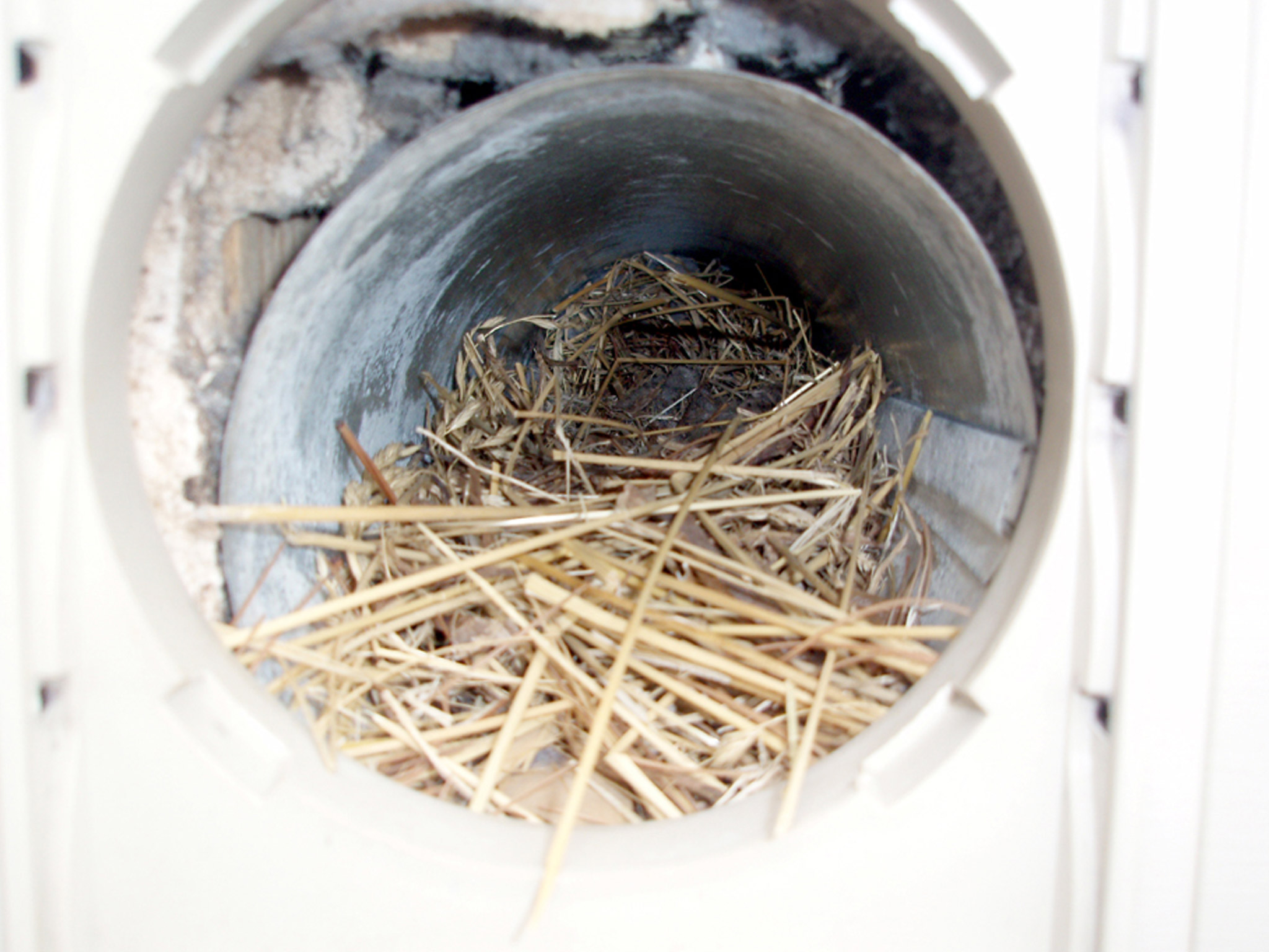 Bird Nest Built Inside Of Dryer Vent